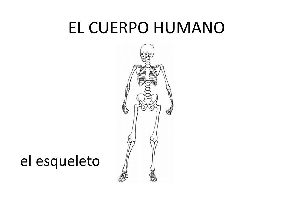 EL CUERPO HUMANO el esqueleto