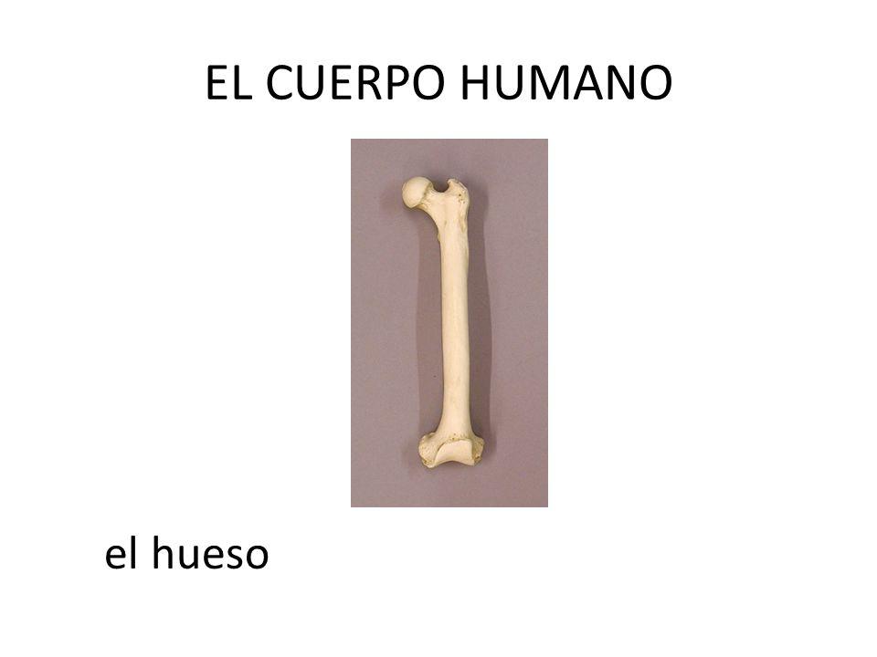 EL CUERPO HUMANO el hueso