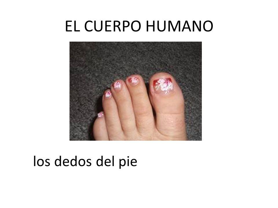 EL CUERPO HUMANO los dedos del pie
