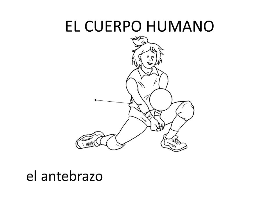 EL CUERPO HUMANO el antebrazo