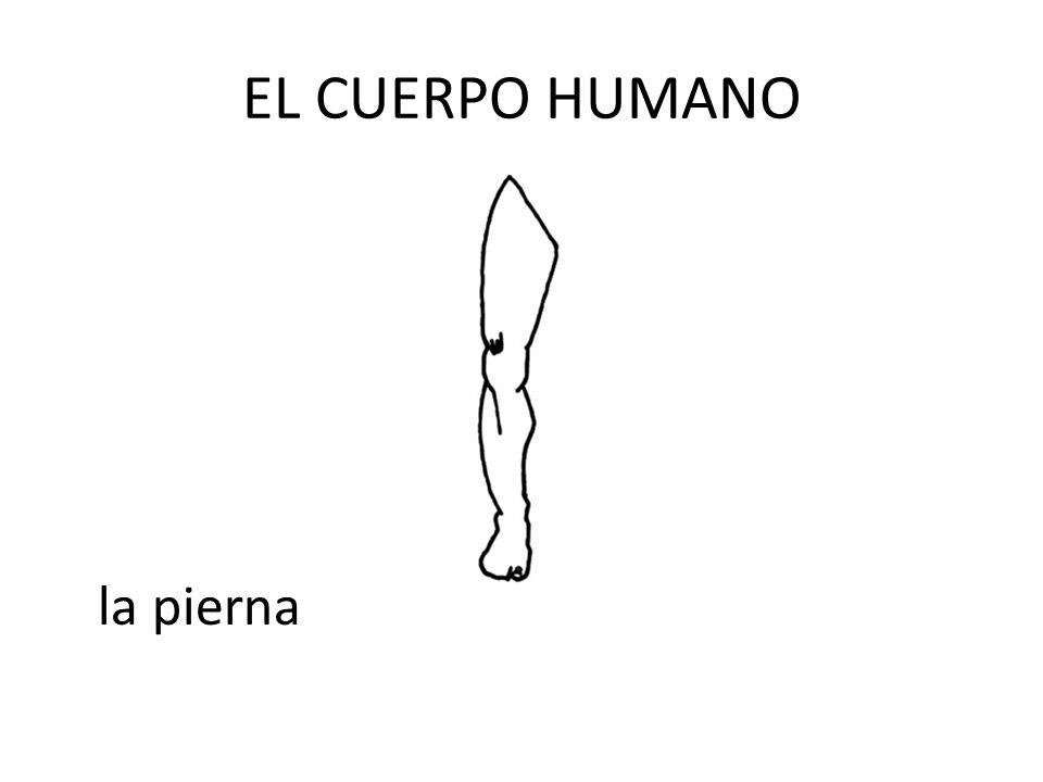 EL CUERPO HUMANO la pierna