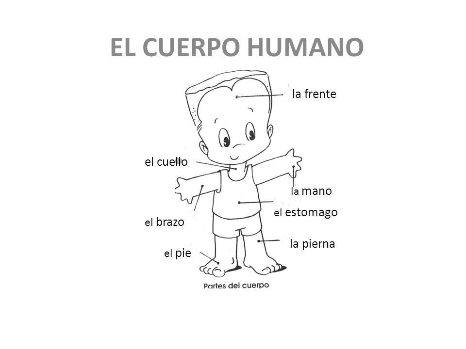 EL CUERPO HUMANO la frente el cuello la pierna la mano el estomago