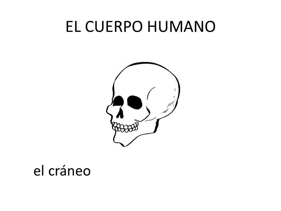 EL CUERPO HUMANO el cráneo