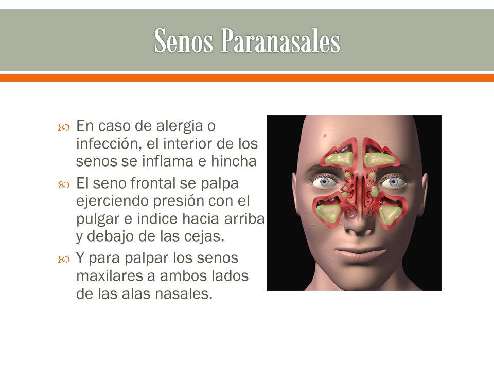 Senos Paranasales En caso de alergia o infección, el interior de los senos se inflama e hincha.