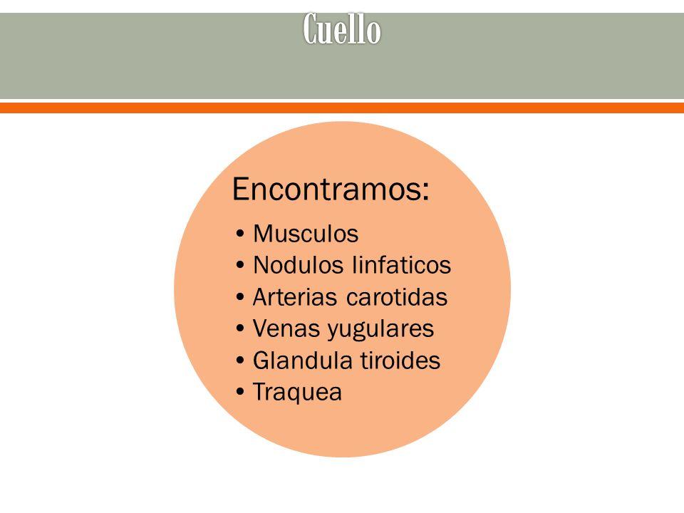 Cuello Encontramos: Musculos Nodulos linfaticos Arterias carotidas