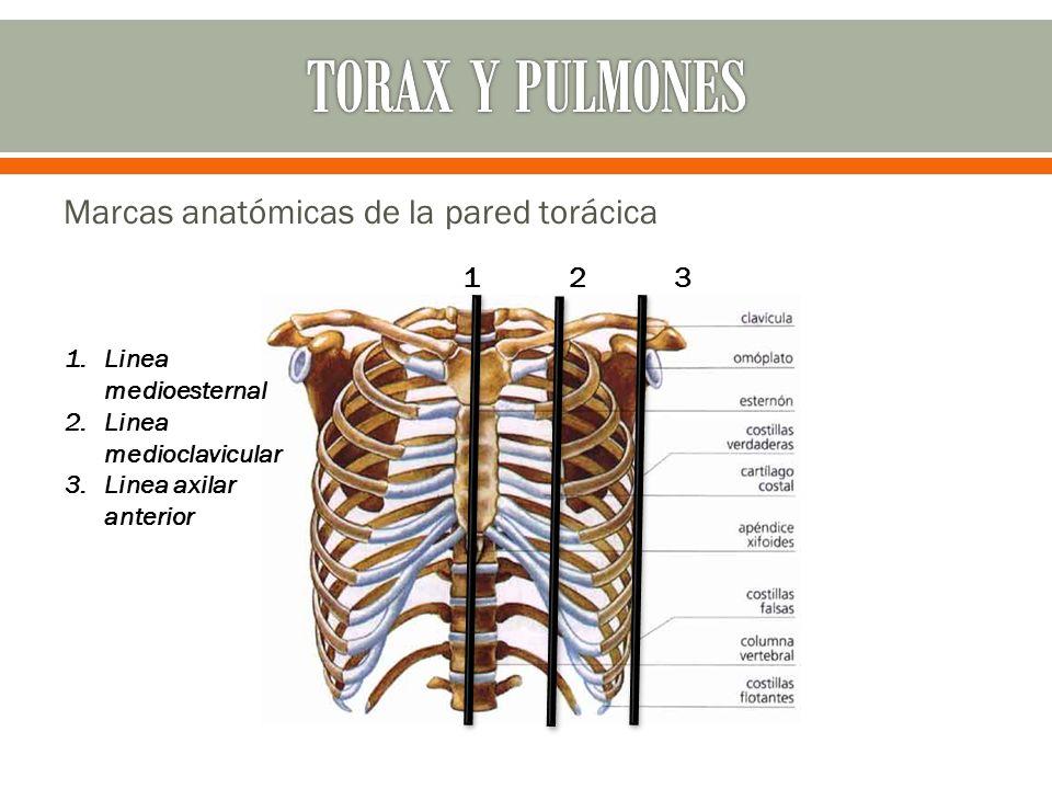 TORAX Y PULMONES Marcas anatómicas de la pared torácica 1 2 3