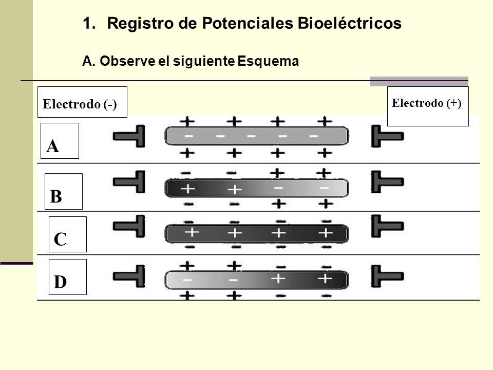 A B C D Registro de Potenciales Bioeléctricos