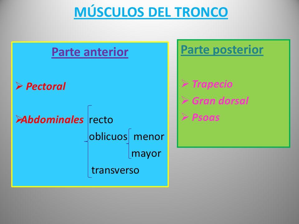 MÚSCULOS DEL TRONCO Parte posterior Parte anterior Trapecio Pectoral
