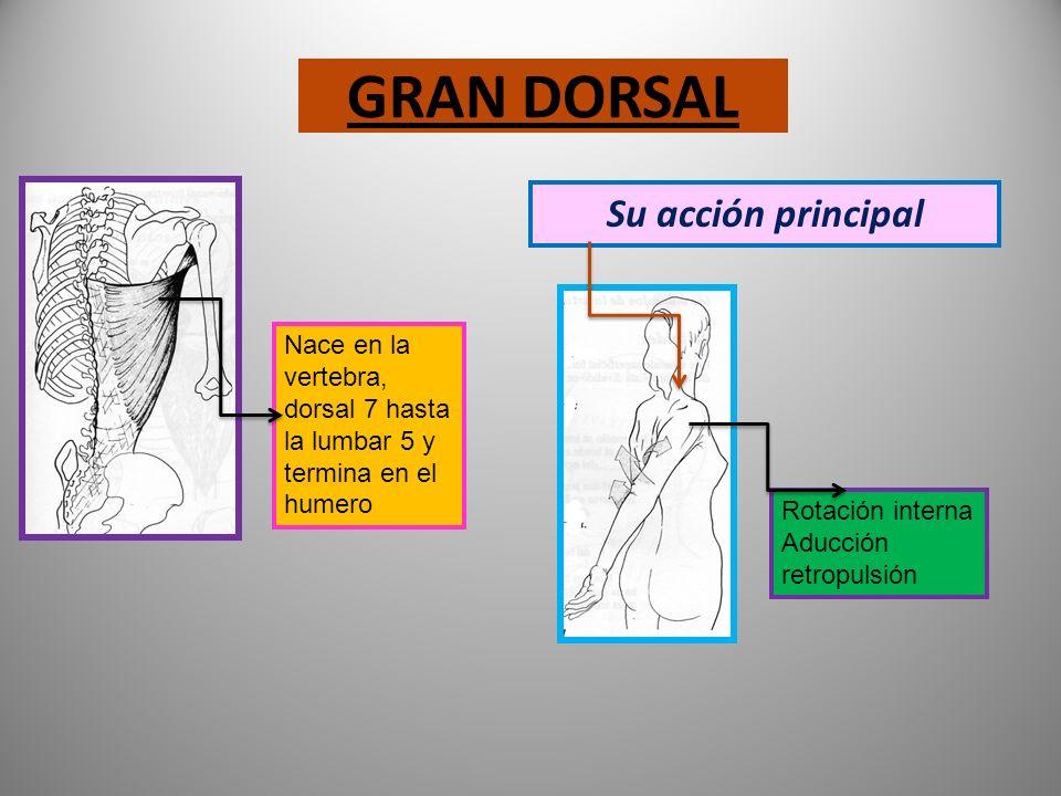 GRAN DORSAL Su acción principal
