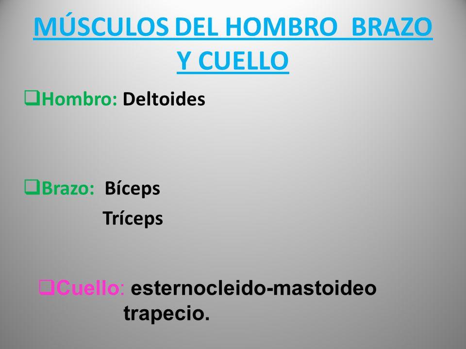 MÚSCULOS DEL HOMBRO BRAZO Y CUELLO