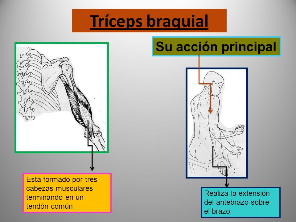 Tríceps braquial Su acción principal