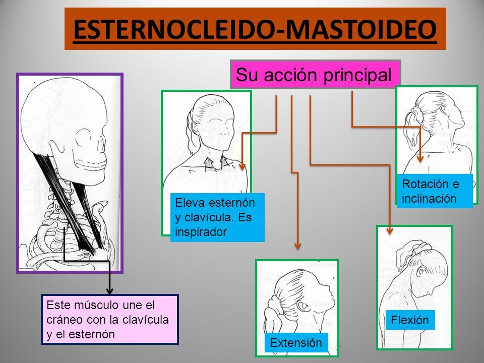 ESTERNOCLEIDO-MASTOIDEO