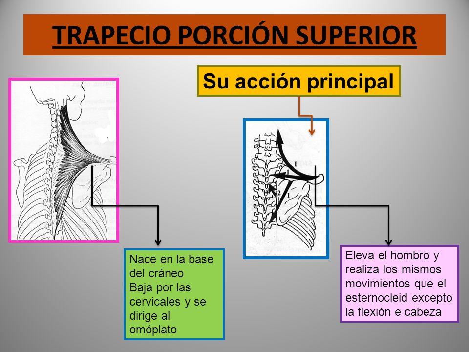 TRAPECIO PORCIÓN SUPERIOR