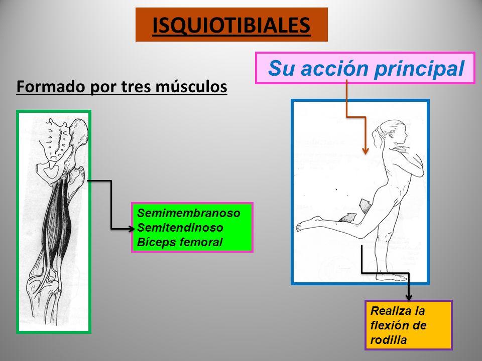 ISQUIOTIBIALES Su acción principal Formado por tres músculos
