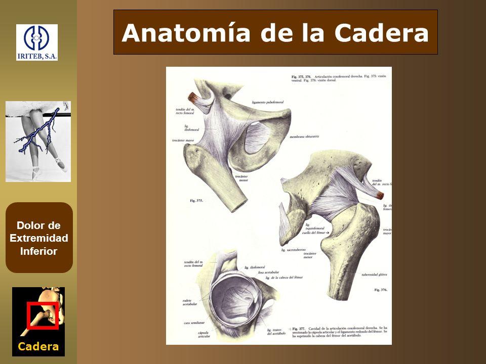 Anatomía de la Cadera Acetábulo Cabeza del Fémur Cadera