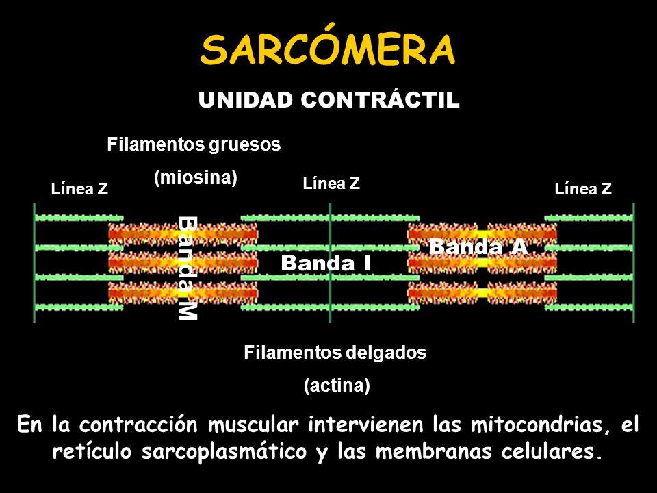 SARCÓMERA Banda M UNIDAD CONTRÁCTIL Banda A Banda I