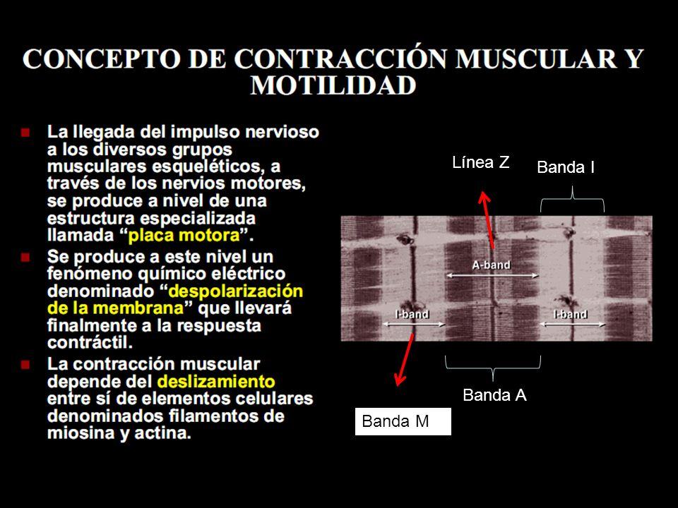 Línea Z Banda I Banda A Banda M