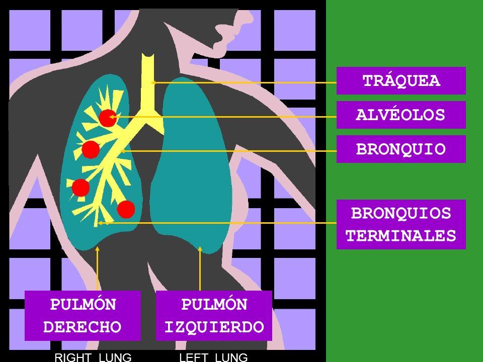 TRÁQUEA ALVÉOLOS BRONQUIO BRONQUIOS TERMINALES PULMÓN DERECHO