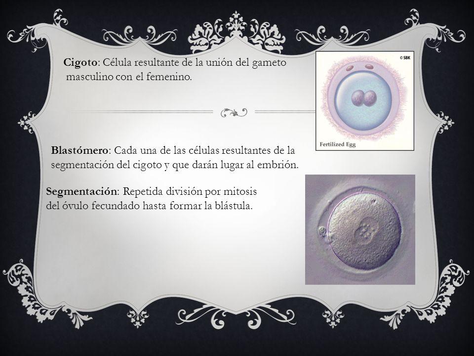 Cigoto: Célula resultante de la unión del gameto