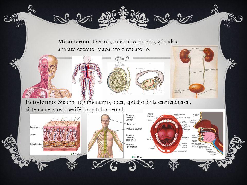 Mesodermo: Dermis, músculos, huesos, gónadas,