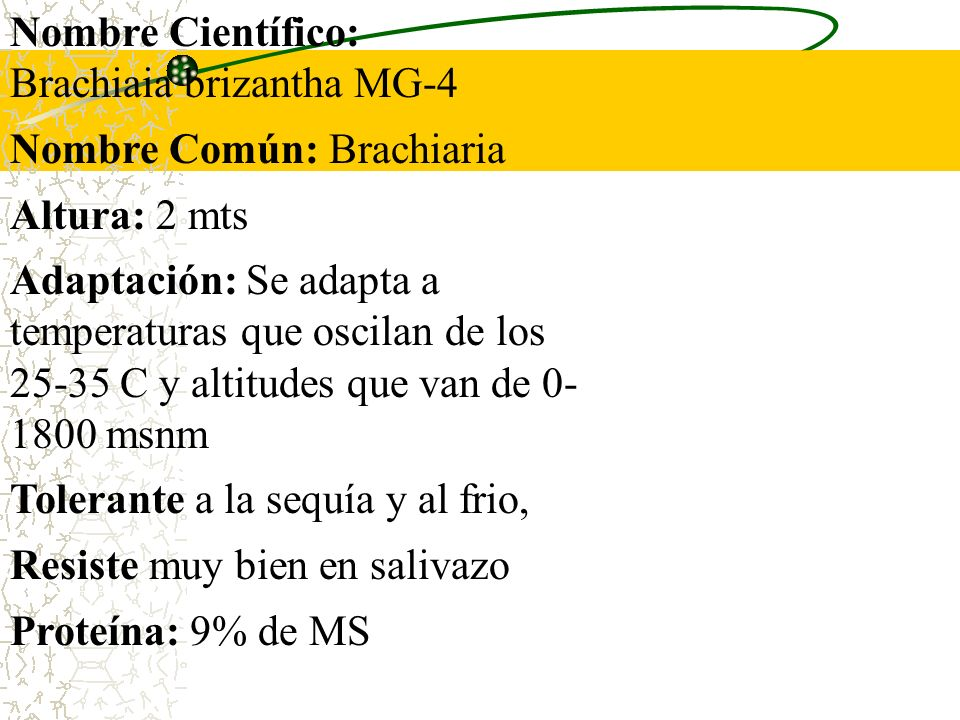 Nombre Científico: Brachiaia brizantha MG-4. Nombre Común: Brachiaria. Altura: 2 mts.