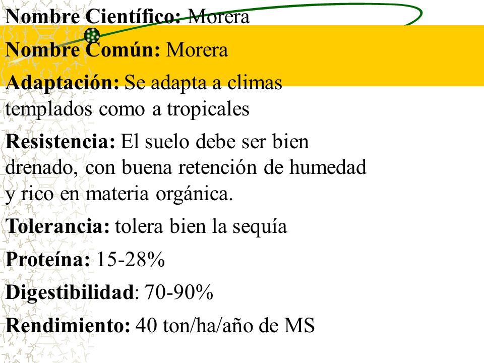 Nombre Científico: Morera