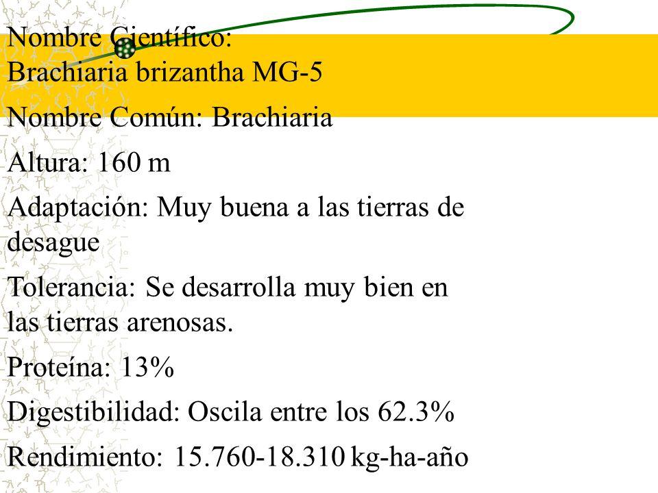 Nombre Científico: Brachiaria brizantha MG-5. Nombre Común: Brachiaria. Altura: 160 m. Adaptación: Muy buena a las tierras de desague.