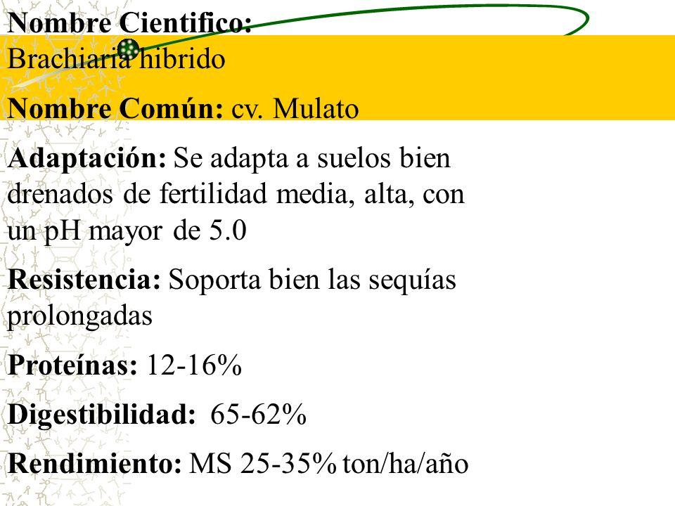 Nombre Cientifico: Brachiaria hibrido. Nombre Común: cv. Mulato.