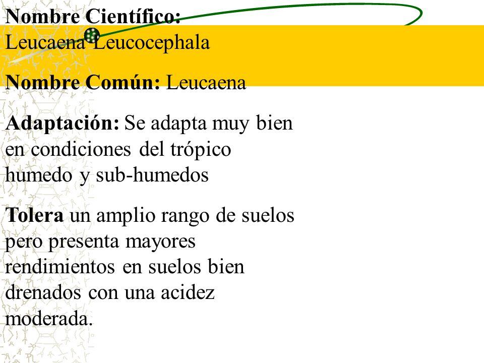 Nombre Científico:Leucaena Leucocephala. Nombre Común: Leucaena. Adaptación: Se adapta muy bien en condiciones del trópico humedo y sub-humedos.