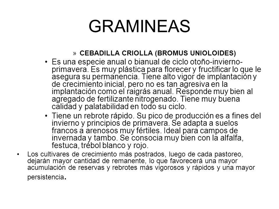 GRAMINEAS CEBADILLA CRIOLLA (BROMUS UNIOLOIDES)
