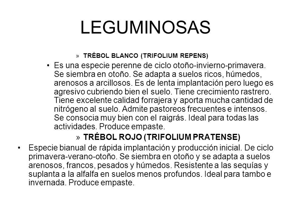 LEGUMINOSAS TRÉBOL BLANCO (TRIFOLIUM REPENS)