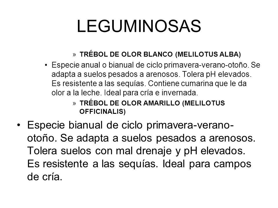 LEGUMINOSAS TRÉBOL DE OLOR BLANCO (MELILOTUS ALBA)