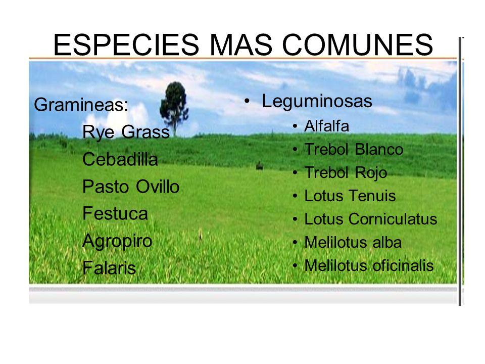 ESPECIES MAS COMUNES Leguminosas Gramineas: Rye Grass Cebadilla