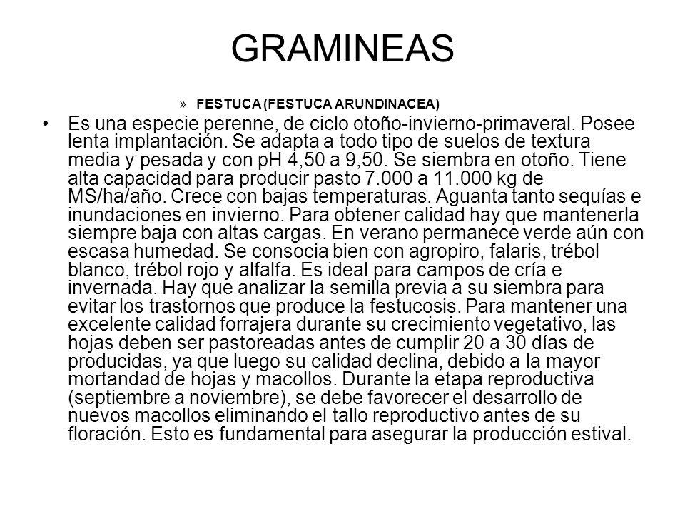 GRAMINEAS FESTUCA (FESTUCA ARUNDINACEA)