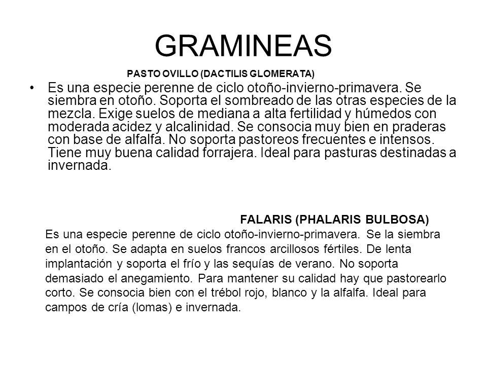 GRAMINEAS PASTO OVILLO (DACTILIS GLOMERATA)