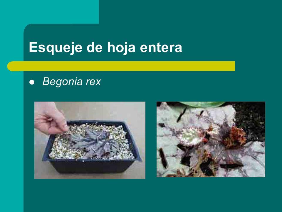 Esqueje de hoja entera Begonia rex