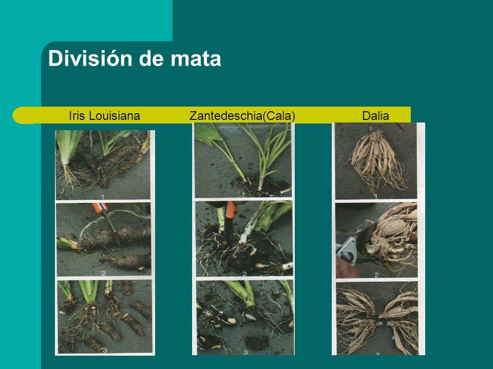 División de mata Iris Louisiana Zantedeschia(Cala) Dalia