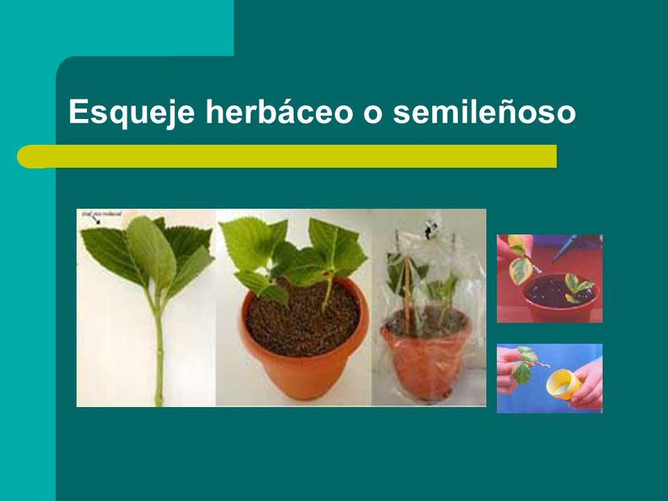 Esqueje herbáceo o semileñoso