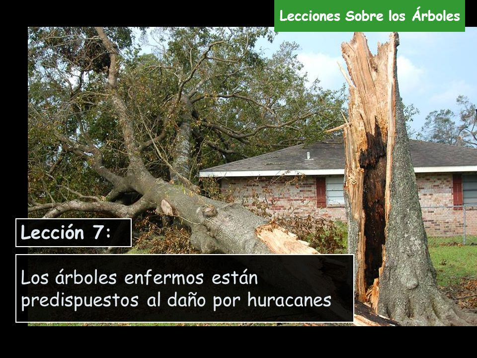 Los árboles enfermos están predispuestos al daño por huracanes