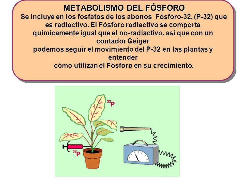 METABOLISMO DEL FÓSFORO Se incluye en los fosfatos de los abonos Fósforo-32, (P-32) que es radiactivo.