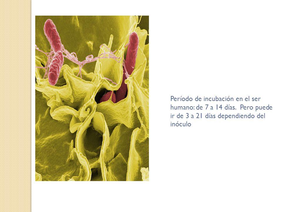 Período de incubación en el ser humano: de 7 a 14 días
