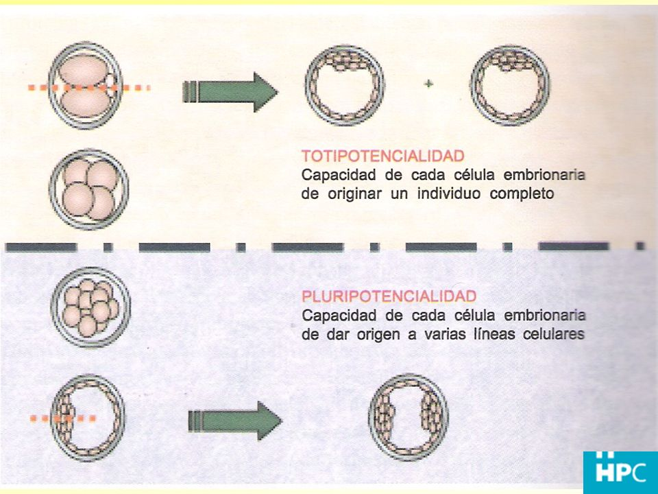 Celula humana patapoiética