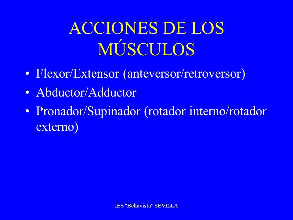 ACCIONES DE LOS MÚSCULOS
