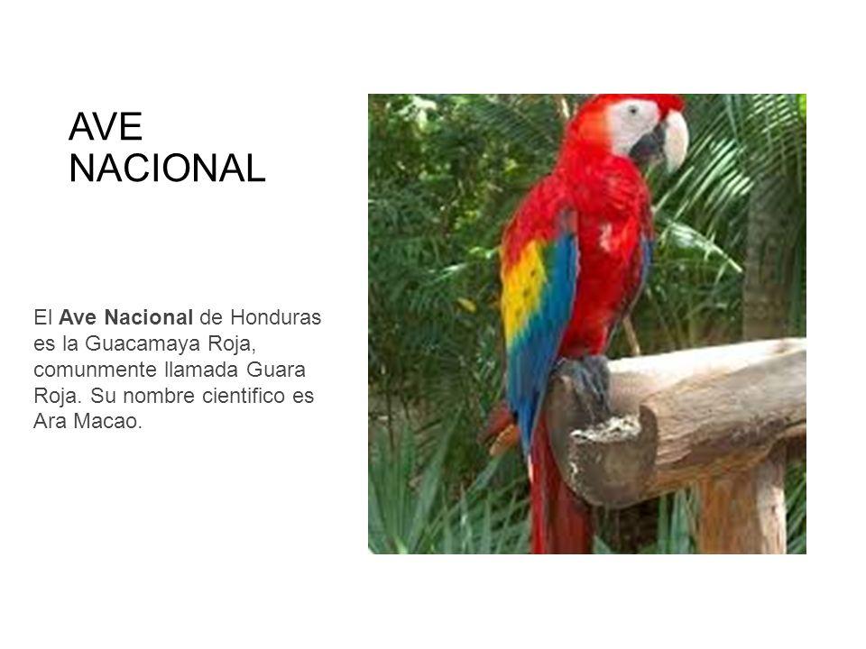 AVE NACIONAL El Ave Nacional de Honduras es la Guacamaya Roja, comunmente llamada Guara Roja.