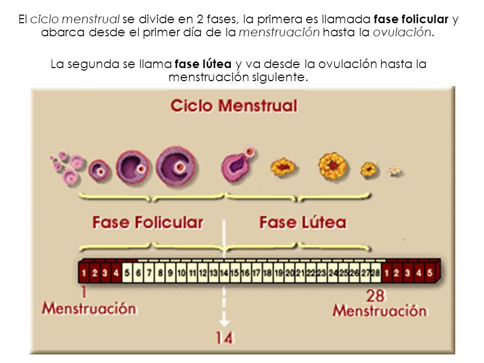 El ciclo menstrual se divide en 2 fases, la primera es llamada fase folicular y abarca desde el primer día de la menstruación hasta la ovulación.