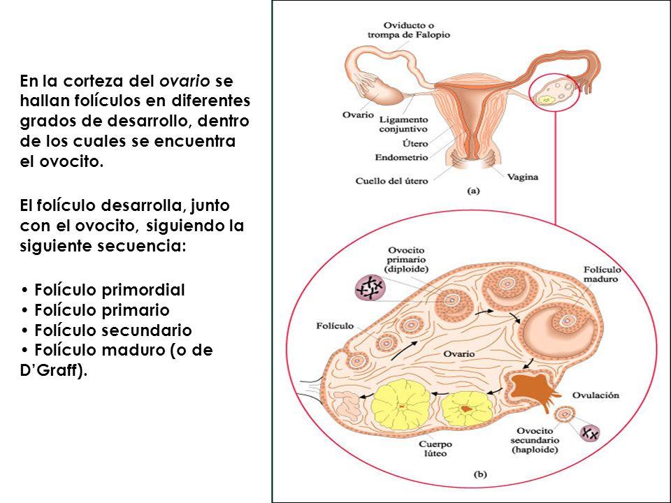 En la corteza del ovario se hallan folículos en diferentes grados de desarrollo, dentro de los cuales se encuentra el ovocito.