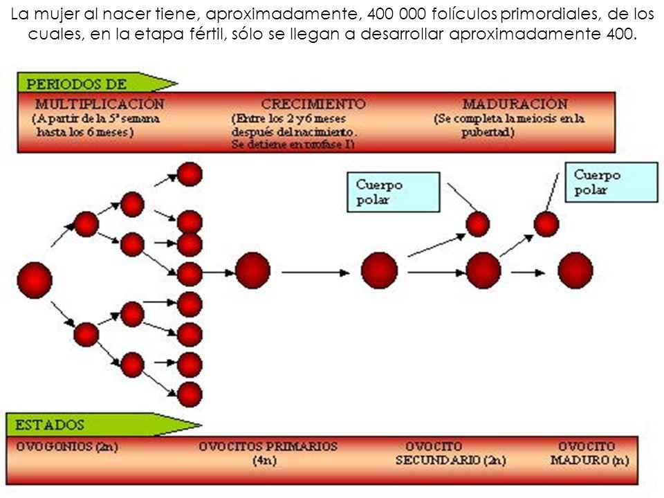 La mujer al nacer tiene, aproximadamente, 400 000 folículos primordiales, de los cuales, en la etapa fértil, sólo se llegan a desarrollar aproximadamente 400.