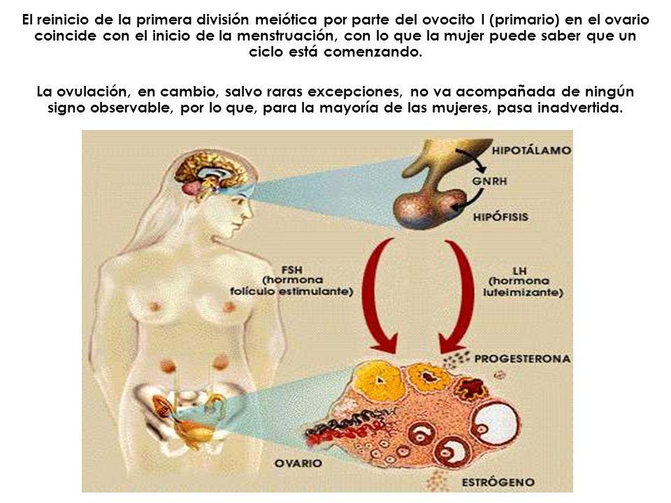 El reinicio de la primera división meiótica por parte del ovocito I (primario) en el ovario coincide con el inicio de la menstruación, con lo que la mujer puede saber que un ciclo está comenzando.