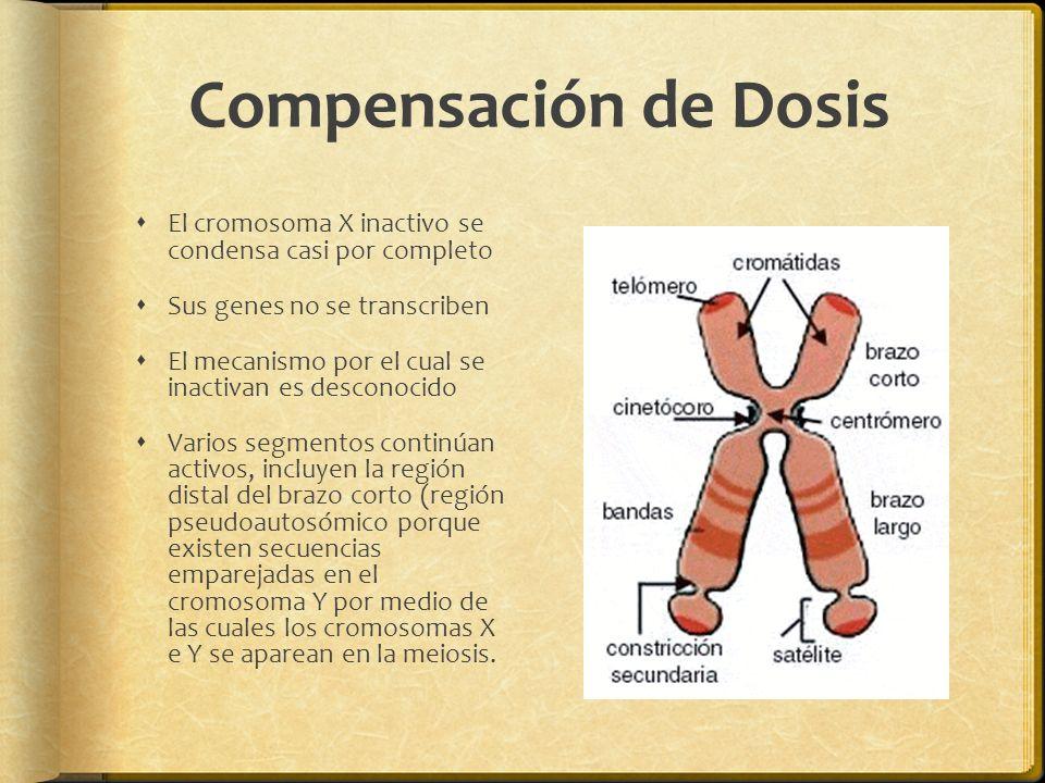 Compensación de Dosis El cromosoma X inactivo se condensa casi por completo. Sus genes no se transcriben.