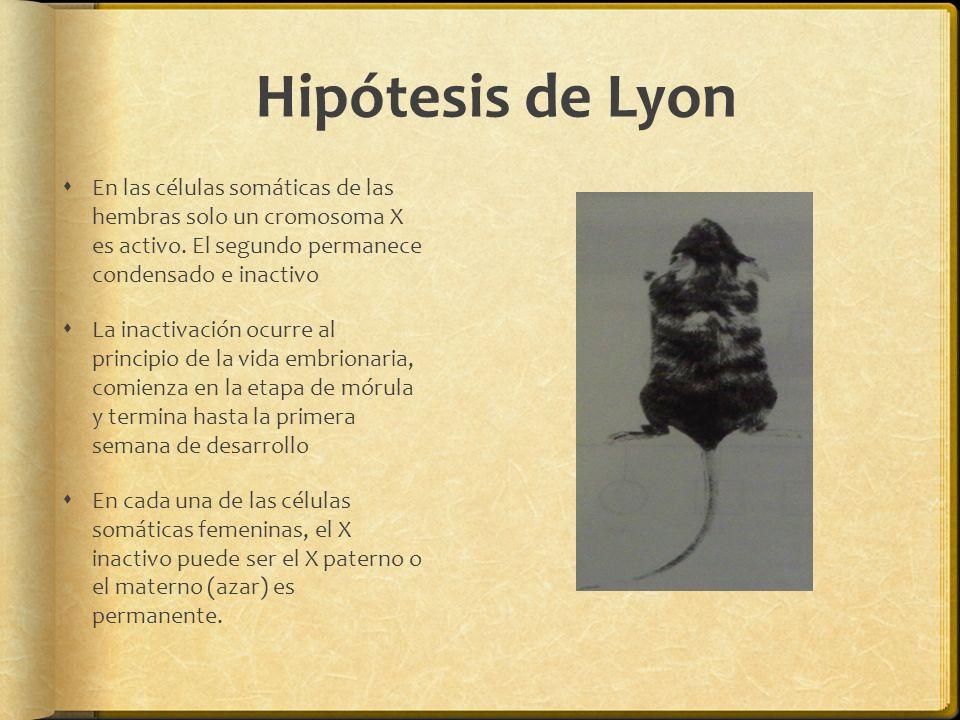 Hipótesis de Lyon En las células somáticas de las hembras solo un cromosoma X es activo. El segundo permanece condensado e inactivo.